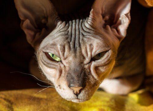 Gato Donskoy: careca, carinhoso e inteligente