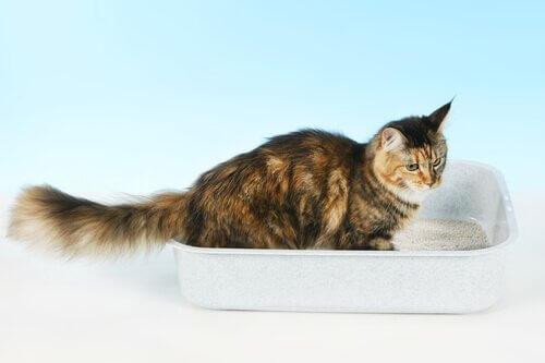 O que você deve fazer se seu gato dorme na caixa de areia?