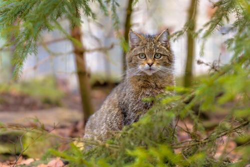 gato selvagem