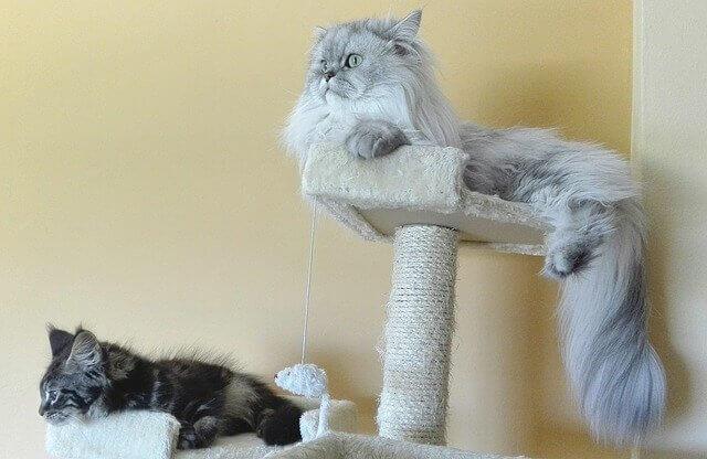 Gato persa em um arranhador