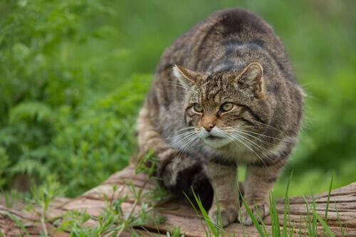 Gato selvagem: características, comportamento e habitat