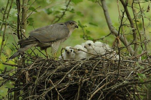 ninho de gavião com filhotes