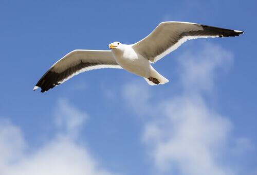 gaivota em voo