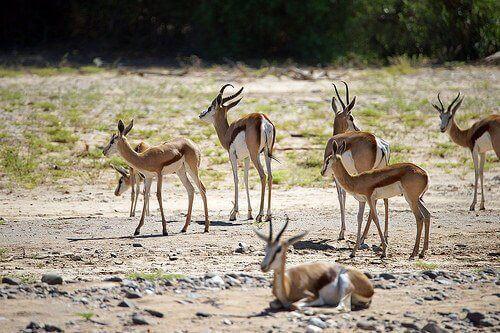 Gazelas na savana africana