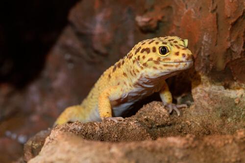 gecko réptil