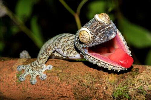 Como são os geckos?