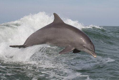 5 espécies de golfinhos oceânicos