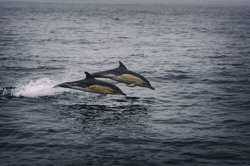 Golfinhos na natureza