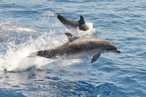 Golfinho-pintado-do-atlântico