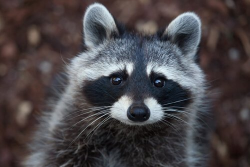 Tem Na Web - É possível ter um guaxinim como animal de estimação?