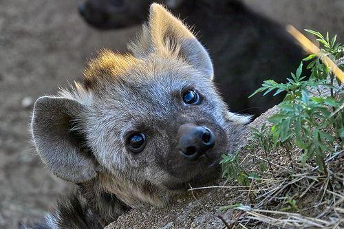 As 4 espécies de hienas da atualidade