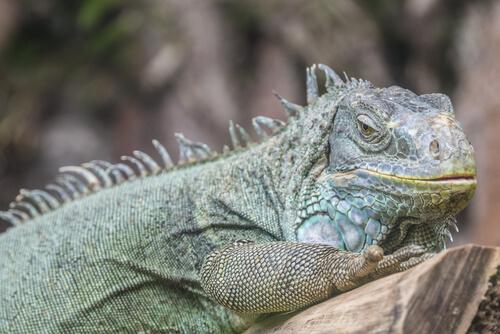 iguana comum