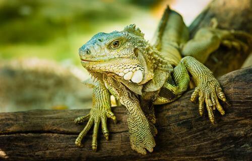 animais exóticos: iguana