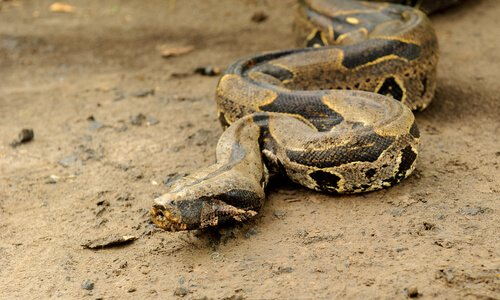 Jiboia-constritora: características, comportamento e habitat