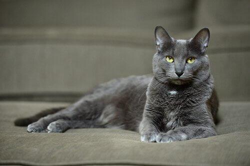 O majestoso gato korat