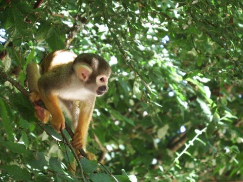 Conheça o macaco-esquilo