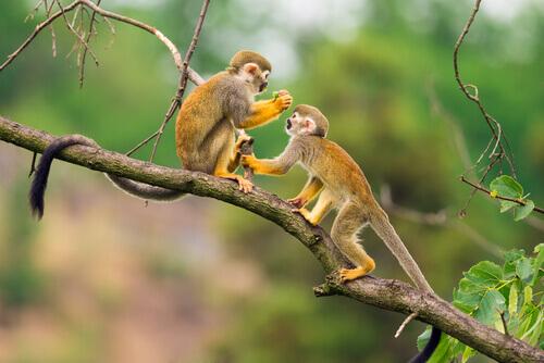 macaco-esquilo