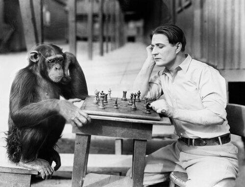 Chimpanzé jogando xadrez