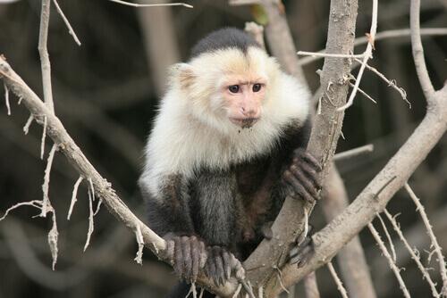 habitat do macaco-prego