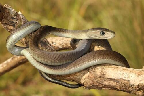cobras mais venenosas: mamba negra