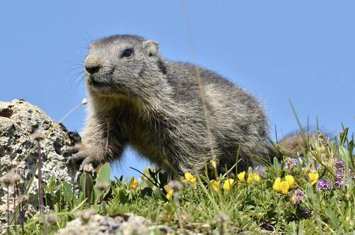 Marmota-alpina
