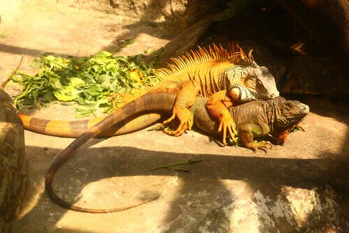 Tudo sobre a reprodução da iguana comum