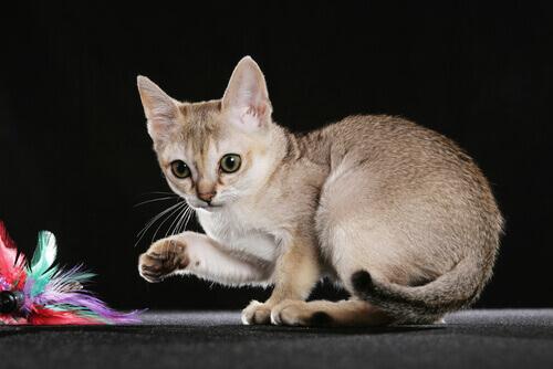 5 menores raças de gatos: conheça aqui!