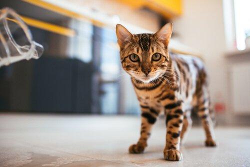 Meu gato cambaleia ao caminhar: o que eu faço?