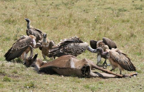 aves de rapina comendo carniça