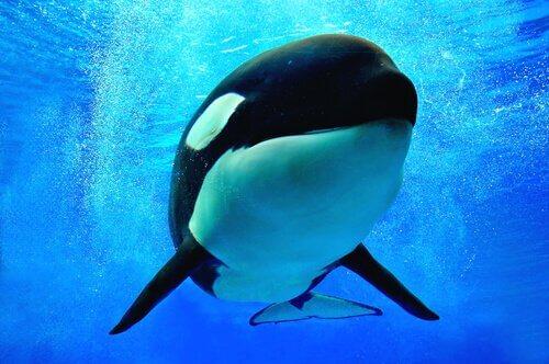 Por que chamam a orca de baleia assassina?