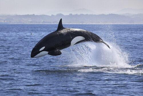 Orca saltando no mar