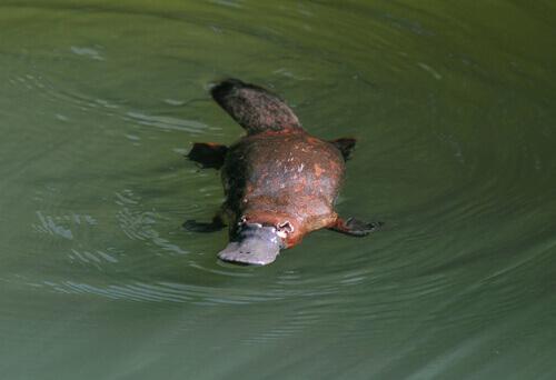 ornitorrinco na água