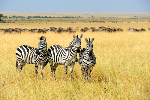 zebras na savana africana
