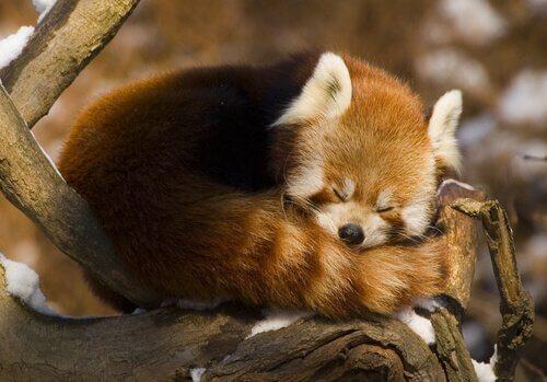panda-vermelho dormindo