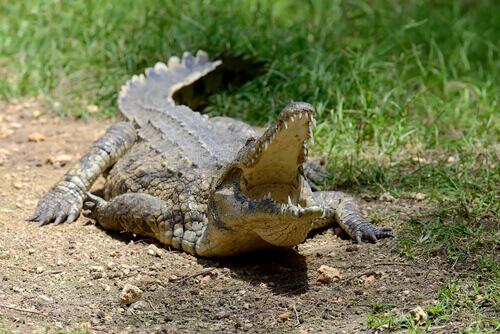 Crocodilo no Parque Nacional Kruger