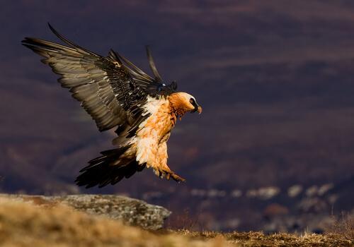 A fauna dos Pirineus: abutre-barbudo