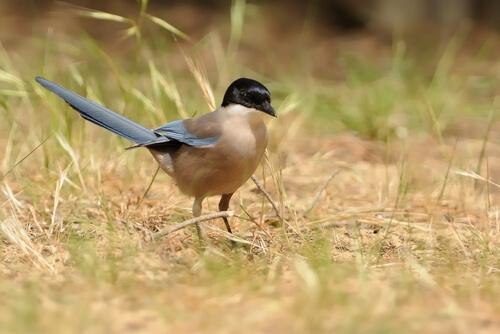 Pega-azul: características, comportamento e habitat