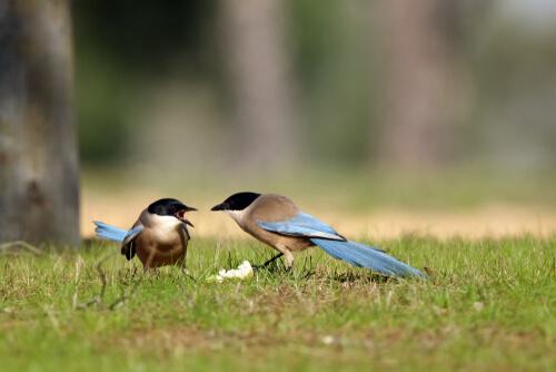 pássaros pegas-azuis