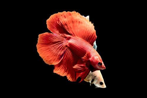 animais avermelhados: peixe beta vermelho