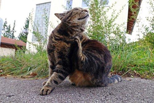Gato se coçando