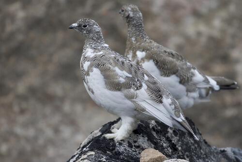 A fauna dos Pirineus: lagópode-branco