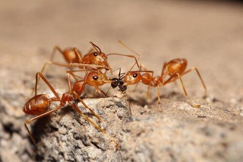 Formiga vermelha