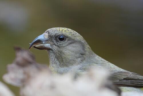 cruza-bico ave
