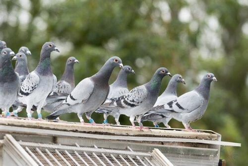 Pombos: muito comuns nas grandes cidades