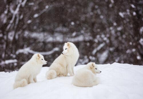 Raposas polares