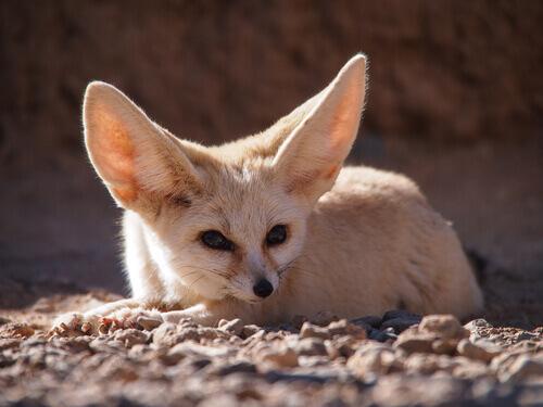 Feneco ou raposa-do-deserto