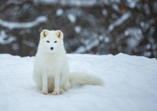 A raposa polar: características, alimentação e habitat