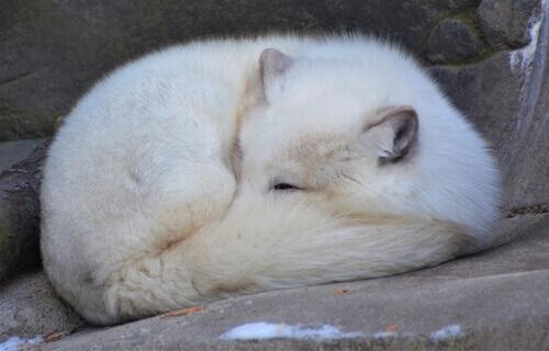 raposa polar dormindo