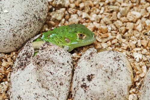 iguana verde saindo do ovo