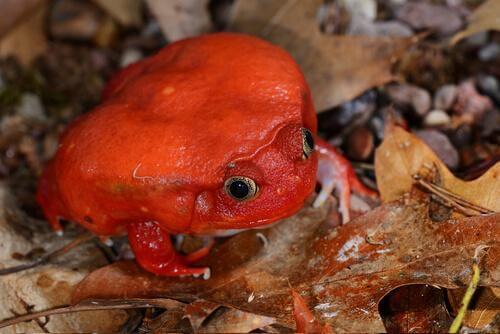 animais vermelhos: o sapo tomate